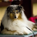 kolia-dlhosrsta-collie-rough-club-dog-show-holland 10.jpg