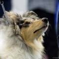 kolia-dlhosrsta-collie-rough-club-dog-show-holland 107.jpg