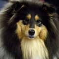 kolia-dlhosrsta-collie-rough-club-dog-show-holland 11.jpg