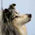 kolia-dlhosrsta-collie-rough-club-dog-show-holland 112.jpg
