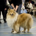 kolia-dlhosrsta-collie-rough-club-dog-show-holland 12.jpg
