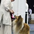 kolia-dlhosrsta-collie-rough-club-dog-show-holland 124.jpg