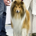 kolia-dlhosrsta-collie-rough-club-dog-show-holland 125.jpg