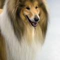 kolia-dlhosrsta-collie-rough-club-dog-show-holland 128.jpg