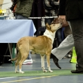 kolia-dlhosrsta-collie-rough-club-dog-show-holland 13.jpg