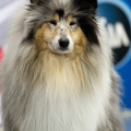 kolia-dlhosrsta-collie-rough-club-dog-show-holland 132.jpg