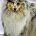 kolia-dlhosrsta-collie-rough-club-dog-show-holland 134.jpg