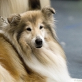 kolia-dlhosrsta-collie-rough-club-dog-show-holland 138.jpg