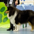 kolia-dlhosrsta-collie-rough-club-dog-show-holland 15.jpg
