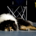 kolia-dlhosrsta-collie-rough-club-dog-show-holland 16.jpg