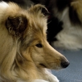kolia-dlhosrsta-collie-rough-club-dog-show-holland 18.jpg