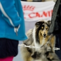 kolia-dlhosrsta-collie-rough-club-dog-show-holland 23.jpg