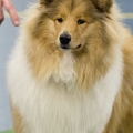 kolia-dlhosrsta-collie-rough-club-dog-show-holland 28.jpg