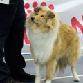 kolia-dlhosrsta-collie-rough-club-dog-show-holland 29.jpg