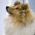 kolia-dlhosrsta-collie-rough-club-dog-show-holland 30.jpg