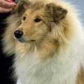 kolia-dlhosrsta-collie-rough-club-dog-show-holland 31.jpg