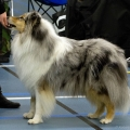 kolia-dlhosrsta-collie-rough-club-dog-show-holland 35.jpg