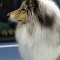kolia-dlhosrsta-collie-rough-club-dog-show-holland 36.jpg