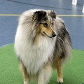 kolia-dlhosrsta-collie-rough-club-dog-show-holland 37.jpg
