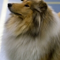 kolia-dlhosrsta-collie-rough-club-dog-show-holland 38.jpg