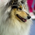 kolia-dlhosrsta-collie-rough-club-dog-show-holland 41.jpg