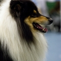 kolia-dlhosrsta-collie-rough-club-dog-show-holland 43.jpg