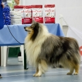 kolia-dlhosrsta-collie-rough-club-dog-show-holland 54.jpg