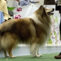 kolia-dlhosrsta-collie-rough-club-dog-show-holland 56.jpg
