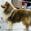 kolia-dlhosrsta-collie-rough-club-dog-show-holland 61.jpg