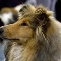 kolia-dlhosrsta-collie-rough-club-dog-show-holland 63.jpg