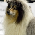 kolia-dlhosrsta-collie-rough-club-dog-show-holland 64.jpg