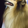 kolia-dlhosrsta-collie-rough-club-dog-show-holland 65.jpg