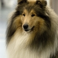 kolia-dlhosrsta-collie-rough-club-dog-show-holland 66.jpg