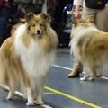 kolia-dlhosrsta-collie-rough-club-dog-show-holland 68.jpg