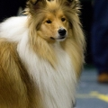 kolia-dlhosrsta-collie-rough-club-dog-show-holland 69.jpg