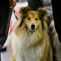 kolia-dlhosrsta-collie-rough-club-dog-show-holland 7.jpg