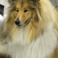 kolia-dlhosrsta-collie-rough-club-dog-show-holland 70.jpg