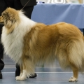 kolia-dlhosrsta-collie-rough-club-dog-show-holland 72.jpg