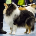 kolia-dlhosrsta-collie-rough-club-dog-show-holland 73.jpg
