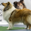 kolia-dlhosrsta-collie-rough-club-dog-show-holland 74.jpg