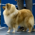 kolia-dlhosrsta-collie-rough-club-dog-show-holland 77.jpg