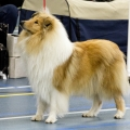 kolia-dlhosrsta-collie-rough-club-dog-show-holland 80.jpg