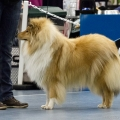 kolia-dlhosrsta-collie-rough-club-dog-show-holland 83.jpg
