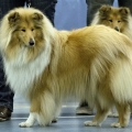 kolia-dlhosrsta-collie-rough-club-dog-show-holland 90.jpg