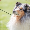kolia-dlhosrsta-collie-rough-club-show-lucenec-2016 18.jpg