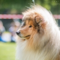 kolia-dlhosrsta-collie-rough-club-show-lucenec-2016 19.jpg