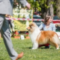 kolia-dlhosrsta-collie-rough-club-show-lucenec-2016 21.jpg