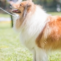kolia-dlhosrsta-collie-rough-club-show-lucenec-2016 31.jpg