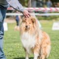 kolia-dlhosrsta-collie-rough-club-show-lucenec-2016 33.jpg