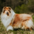 2020-asan-fellow-of-eternity-collie-rough-sable-stud-male_1.jpg